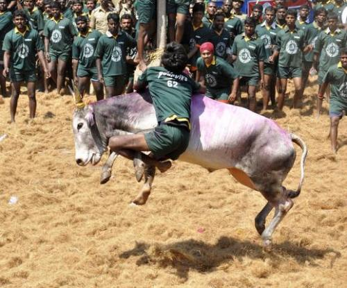 16TH_JALLIKATTU7_894661g